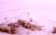 هجوم ۵۶ خرس به روستایی در شمال شرق روسیه