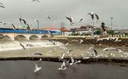 لحظات دیدنی از پرواز مرغان دریایی در تنکابن + فیلم