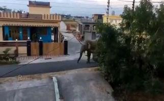فیلم/ ورود فیل به شهر در دوران قرنطینه و خلوت شدن جاده ها و خیابان ها