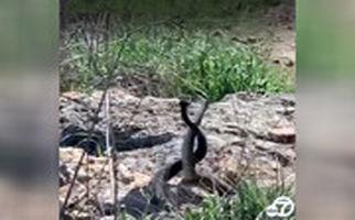 جنگ دو مار نر در پارک جنگلی کالیفرنیا