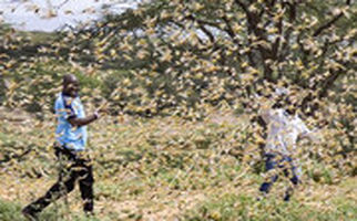 هجوم بیسابقهٔ خطرناکترین گونهٔ ملخ به شرق آفریقا
