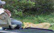 شیرهای آفریقایی جاده را برای عبور توریستها مسدود کردند