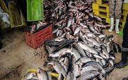 توقیف محموله ۱۱۱۶ کیلوگرمی ماهی منجمد فاسد در ارومیه
