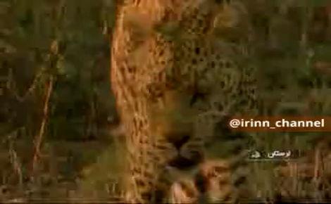 حمله پلنگ به دام ها در لرستان/ تلف شدن 120 راس دام  تلف شدن 120 راس دام بر اثر حمله پلنگ - لرستان