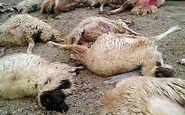 گرگ تیز دندان، ۴۰ راس گوسفند را درید