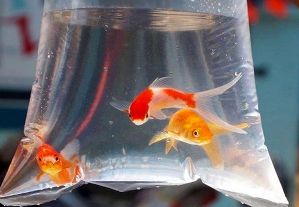 کرونا از ماهی قرمز منتقل می شود یا خیر؟