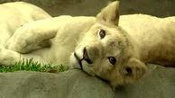 تولد شیرهای سفید در باغ وحش + فیلم