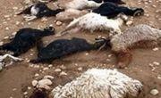تلف شدن ۱۷ راس گوسفند در حادثه رانندگی در اردبیل