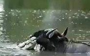 عاقبت غم انگیز گوزن یالدار پس از فرار از دست کروکودیل با دو پای شکسته