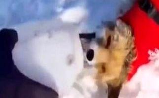 نجات روباهی که قربانی خودخواهی مردم شده بود + فیلم