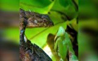 حشره سبز رنگی که بعد از شکار، رنگ خون طعمهاش را به خود مىگیرد!