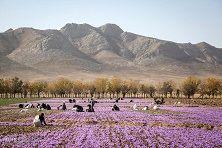 34 درصد زعفران ایران به کام کشورهای دیگر