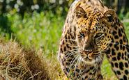 حرکت آکروباتیک پلنگ برای شکار آهو