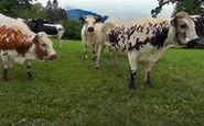 مراقب این گاوهای آدمکش باشید!