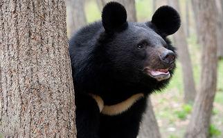 یک قلاده خرس سیاه در منطقه کلمرز کرمان