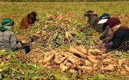 کشاورزان کرمانشاه از فروش چغندرقند به دلالان خودداری کنند