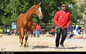 جشنواره اسب اصیل ترکمن در خراسان شمالی  + تصاویر
