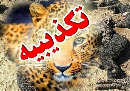 حمله پلنگها به ۴۰۰ دام در جوجار کرمانشاه تکذیب شد