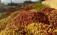 قیمت خرید سیب صنعتی مشخص شد