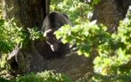 فیلم جالب از چپاول دسترنج خرس قهوهای مازندران