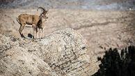 کشف لاشه ۱۶۰ رأس قوچ و میش اوریال در پارک ملی گلستان؛ علت در دست بررسی است