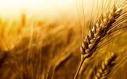 تولید گندم آغشته به فضولات حیوانی