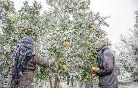 بیمه محصولات، چتر حمایتی بر سر بهره برداران کشاورزی