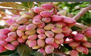استفاده از ظرفیت باغ پسته پردیس کشاورزی استان کرمانشاه