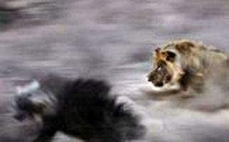فرار بی نتیجه کفتار نگون بخت از دست سلطان جنگل