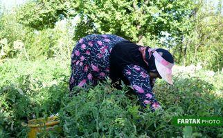 گزارش تصویری برداشت گوجه فرنگی در  گهواره