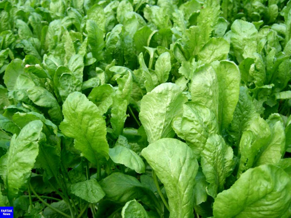 درمان سرفه و کاهش وزن با مصرف این سبزی