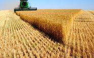 پیشبینی برداشت 60 هزار تن گندم از حمیدیه
