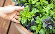 این سبزی ضد آلزایمر را بشناسید