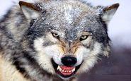 گرگ درنده به جان گله چوپان پلدختری افتادند