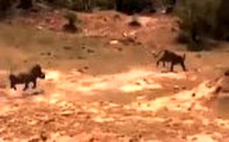 اقدام شجاعانه گراز در نجات دادن فرزندش از دهان پلنگ/فیلم