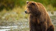 مشاهده یک قلاده خرس در ارتفاعات «گدوک»